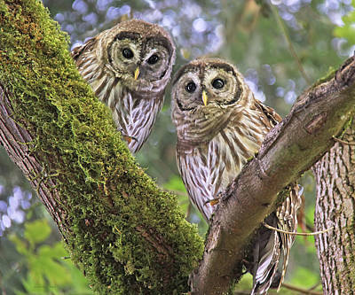 Young Barred Owlets  Print by Jennie Marie Schell