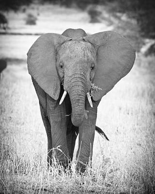 Bull Photograph - Young Bull Elephant by Adam Romanowicz