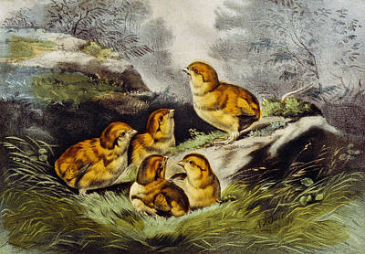 Young Chicks Circa 1856 Print by Aged Pixel