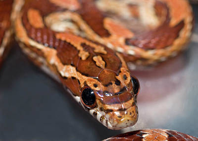 Reptiles Photograph - Young Corn Snake by Nigel Downer