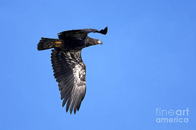 Young Eagle Print by Sharon Talson