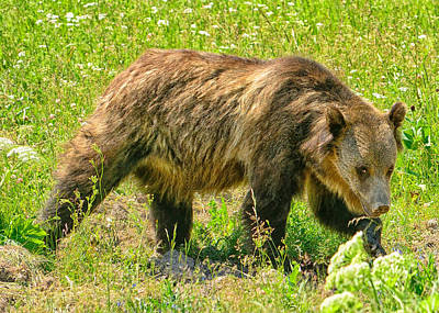 Bear Photograph - Young Grizzly Bear by Greg Norrell