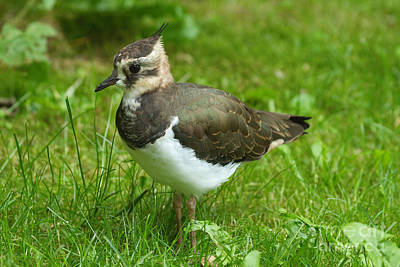 Lapwing Photograph - Young Lapwing by Helmut Pieper