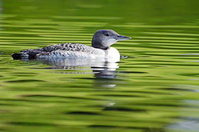 Bird Photograph - Young Loon On Green Waters by Donna Doherty