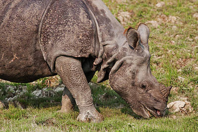 One Horned Rhino Photograph - Young One-horned Rhinoceros Feeding by Jagdeep Rajput