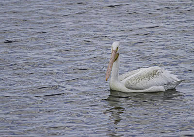 Lone Pelican Photograph - Young Pelican by Thomas Young