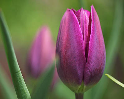 Flowers Photograph - Young Purple Tulips by Rona Black