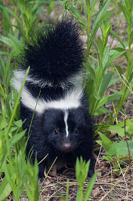 Bison Photograph - Young Striped Skunk by Ken Archer