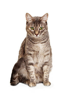 Tabby Cat Photograph - Young Tabby Cat Sitting Looking Down by Susan  Schmitz