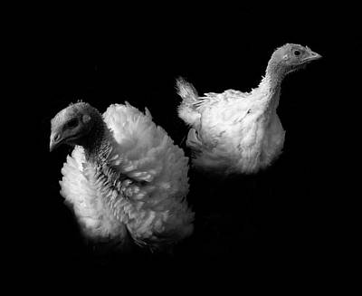 Young Turkeys Print by Cordelia Molloy
