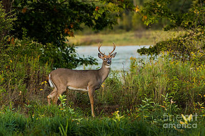 Northwoods Photograph - Young White-tailed Buck by Linda Freshwaters Arndt