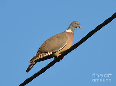Bird Photograph - Young Wood Pigeon by Bishopston Fine Art