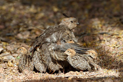 Quail Photograph - Your Safe Now by Bryan Keil
