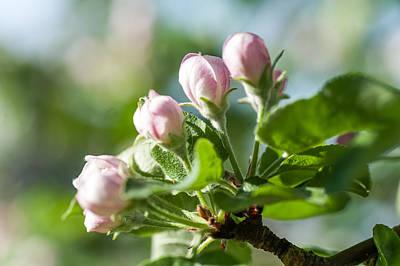 Youth. Spring Appletree Blossom Print by Jenny Rainbow