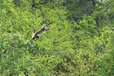 Monkey Photograph - Yunnan Snub-nosed Monkey Leaping by Tony Camacho