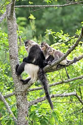 Monkey Photograph - Yunnan Snub-nosed Monkeys by Tony Camacho