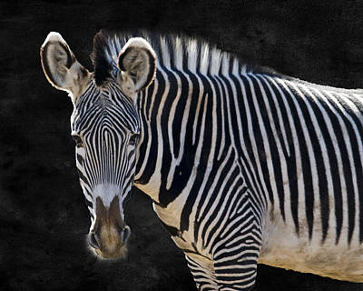Camouflaged Photograph - Z Is For Zebra by Juli Scalzi