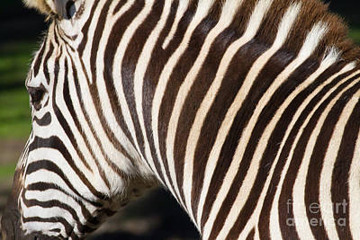 Donkey Photograph - Zebra 7d8894 by Wingsdomain Art and Photography