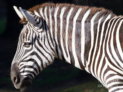 Donkey Photograph - Zebra 7d8908 by Wingsdomain Art and Photography