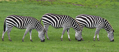 Nairobi Photograph - Zebra by Chris Smith