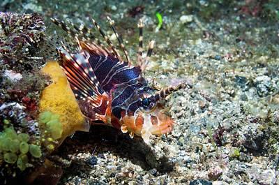 Invertebrate Photograph - Zebra Lionfish On A Reef by Georgette Douwma