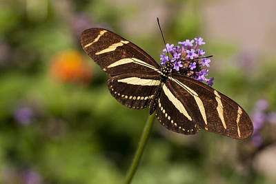 Butterfly Photograph - Zebra Longwing Butterfly by Adam Romanowicz