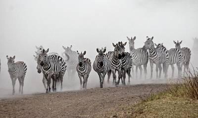 Of Zebras Photograph - Zebra Migration by Photostock-israel