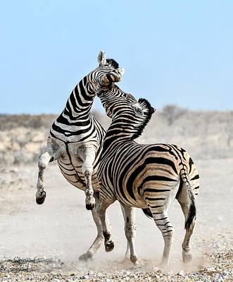 Zebra Stallions Fighting In Etosha Np Print by Peter Delaney