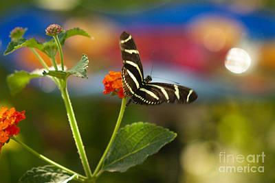 Zebra Striped Butterflies Print by Cari Gesch