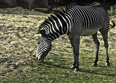 Zebra Striped Fourlegger Print by LeeAnn McLaneGoetz McLaneGoetzStudioLLCcom