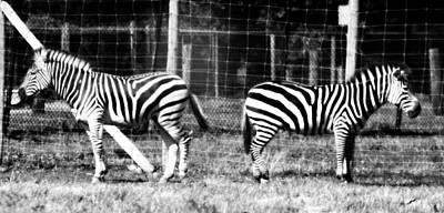 Zebras In Black And White Print by Dan Sproul