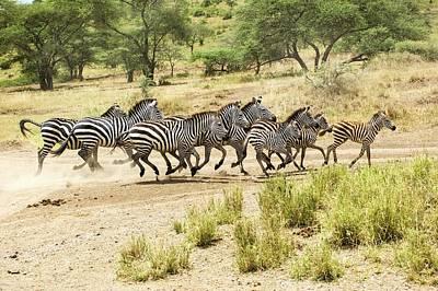 White Beard Photograph - Zebras In Mud by Photostock-israel