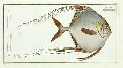 Zeus Ciliaris (alectis Ciliaris) Print by Natural History Museum, London