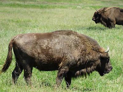 Zimbrul - Romanian Buffalo Original by Dan Marinescu