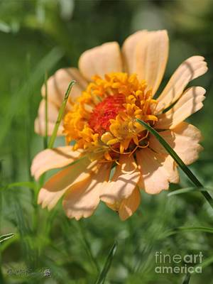 Zinnia Elegans Photograph - Zinnia From The Candy Mix by J McCombie