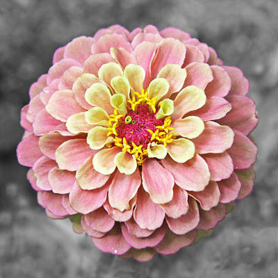 Pink Photograph - Zinnia In Pink And Yellow by Brooke Ryan