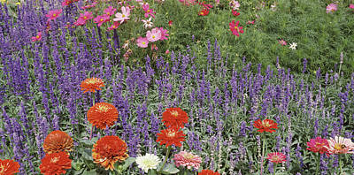 Salvia Photograph - Zinnia Salvia And Cosmos Flowers by Panoramic Images