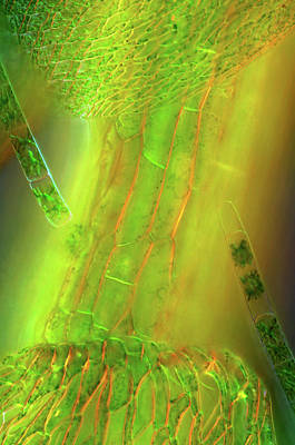 Unicellular Photograph - Zygnema Algae On Sphagnum Moss by Marek Mis