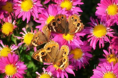 3 Beauty's Butterflies On Mum Flowers Print by Peggy  Franz