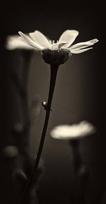 Dark Daisy  Print by Stelios Kleanthous