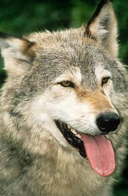 Happy Gray Wolf Print by Larry Allan