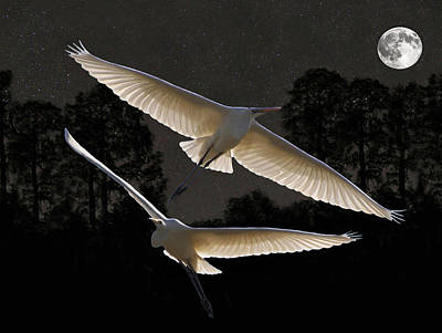 Majestic Great Egrets  Print by Eric Kempson