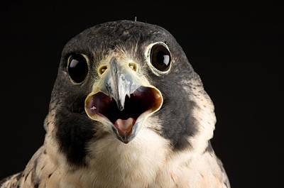 Falcon Photograph - A Portrait Of A Peregrine Falcon Falco by Joel Sartore