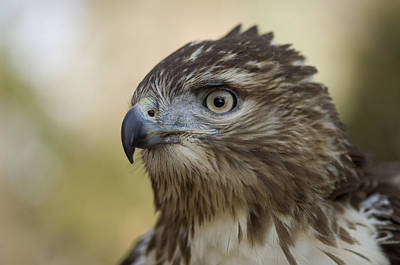 Red Tail Hawk Photograph - A Red-tailed Hawk In Lincoln, Nebraska by Joel Sartore