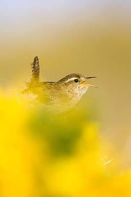 A Singing Wren Print by Duncan Shaw