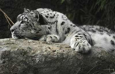 A Snow Leopard Takes Time Out To Rest Print by Jason Edwards