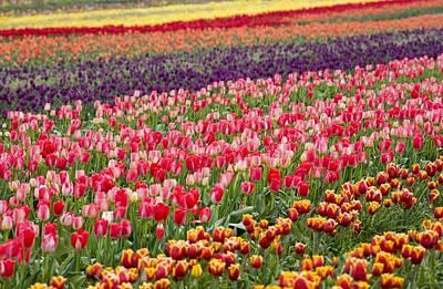 A Tulip Field Print by Craig Tuttle