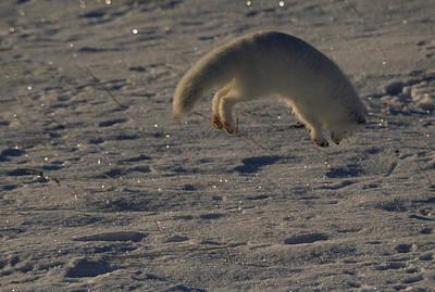 A White Arctic Fox, Alopex Lagopus Print by Norbert Rosing