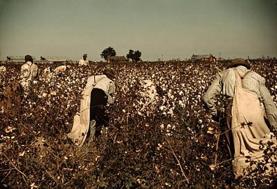 African American Day Laborers Picking Print by Everett