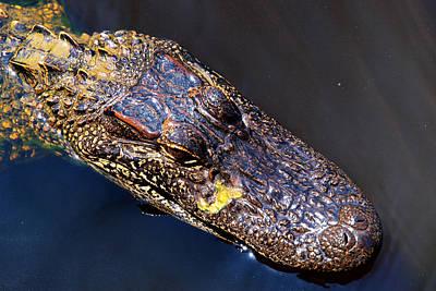 Crocodile Digital Art - Alligator In Mississippi River by Paul Ge